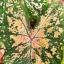 หัวบอนสี ลูกไม้ 210 ขนาด 1/2 นิ้วขึ้นไป thumbnail 1