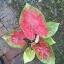 เมล็ดบอนสี หยาดฝน+งามตางามใจ 200 เมล็ด / Caladium seeds.200 seeds. thumbnail 3