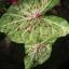 เมล็ดบอนสี ลูกนางเสือดาว+ทับทิมบูรพา 100 เมล็ด / Caladium seeds.100 seeds. thumbnail 2
