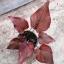 ต้นบอนสี ทุ่งเศรษฐี ขนาดกระถาง6นิ้ว thumbnail 3